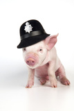 Piglet Sitting Wearing a Police Hat