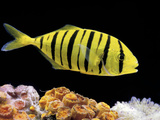 Aquarium Fish  Golden Jack  Golden Trevally
