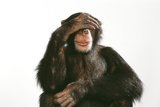 Chimpanzee Hand over Eyes 'See No Evil'