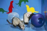 Pet Ferrets in Play Area
