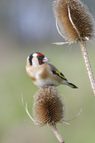 Goldfinch on Teasel Front View