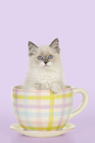 Ragdoll Kitten Sitting in Tea Cup