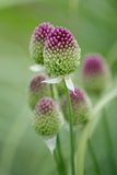 Round-Headed Leek Much Loved by Bees