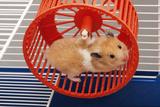 Syrian Hamster Running in Hamster Wheel