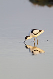 Avocet Feeding in Early Morning Sun