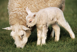 Texel Sheep Ewe with Lamb