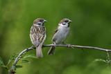 Tree Sparrow Pair on Branch