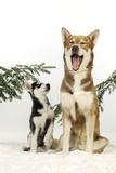 Siberian Husky Puppy Looking Up at Siberian