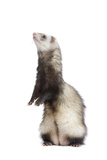 Ferret Sable Colouring on Hind Legs in Studio