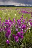 Intensely Flowery Mid-Altitude Prairie Grassland