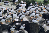 Puffin Birds Resting on Cliff Top