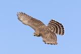 Cooper's Hawk Immature in Flight