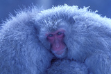 Snow Monkey Huddling for Warmth