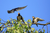 Swallow Adult  Feeding Juveniles on Branch
