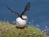 Puffin Lands on Grass Ledge by Sea