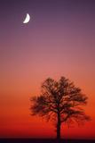 Oak Tree and Half Moon in Winter Dusk