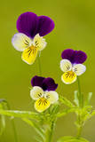 Wild Pansy or Heartsease