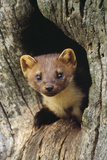 Pine Marten in Hole in Tree