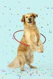Golden Retriever Doing Hoola Hoop with Falling Confetti