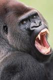 Lowland Gorilla Close-Up of Head  Threatening Display