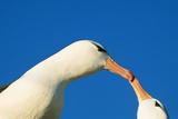 Black-Browed Albatross Touching Beaks in Courtship