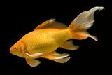 Fish Goldfish in Tank Black Background