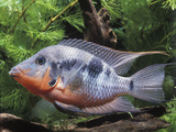 Aquarium Fish Firemouth Cichlid