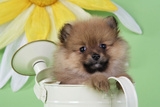 Pomeranian Puppy Sitting in Watering Can (10 Weeks Old)