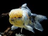 Aquarium Fish Lionhead Goldfish