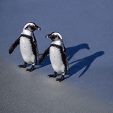 African Black-Footed Jackass Penguin Holding Hands