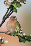 Chaffinch Male on Branch of Apple Tree with Blossoms