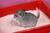 Chinchilla Baby in Sand Tray  Bathing to Help