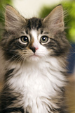 Norwegian Forest Silver and White Mackerel Tabby Cat