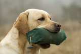 Labrador with Dummy in Mouth