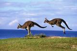 Eastern Grey Kangaroo Two Animals Hopping