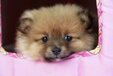 Pomeranian Puppy (10 Weeks Old)