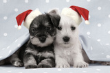 Miniature Schnauzer Puppies (6 Weeks Old)