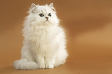 Long-Haired Persian Chinchilla