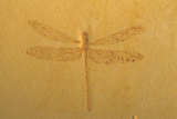 Fossil Dragonfly  Green River Formation