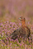 Red Grouse Standing Amongst Heather in Early