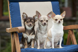 Chihuahuas Sitting on Garden Chair