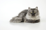 Chincilla X Persian Dark Silver Smoke Cat
