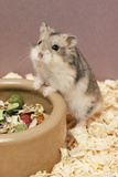Dwarf Russian Hamster with Dried Food