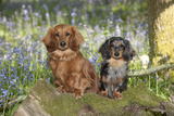 Miniature Long Haired Dachshunds Sitting in Bluebells