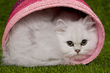 Persian Chinchilla Kitten Curled Up in Pink Basket