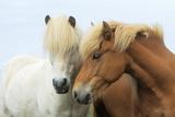 Icelandic Horse Two Nuzzling