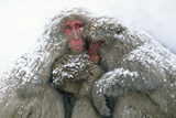 Japanese Macaque Tree in Snow