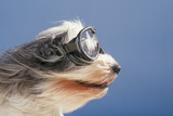 Polish Lowland SheepWearing Goggles in Wind