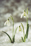 Snowdrop Three Flowers in Snow