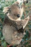 Koalas Mother and Young